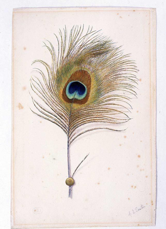 Ruskin Collection - Peacock feather sm