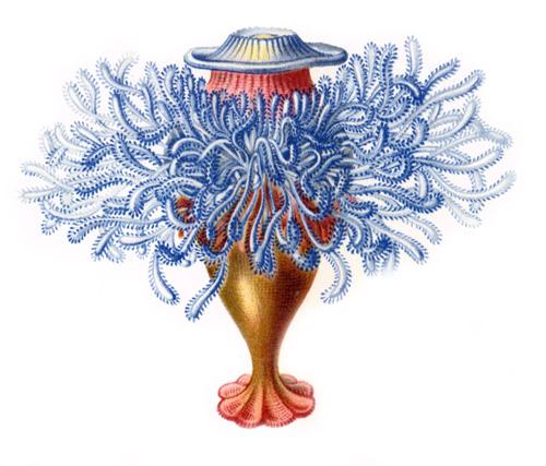 Haeckel_Siphonophorae-2