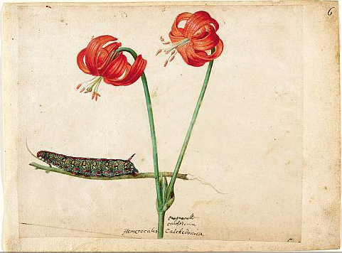 jacques-le-moyne-caterpillar