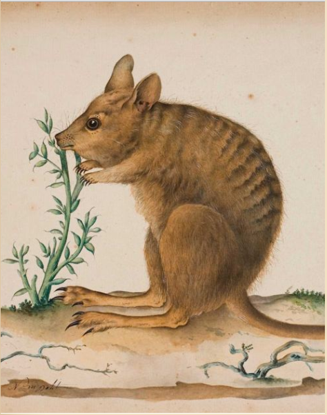 what-good-is-wallaby