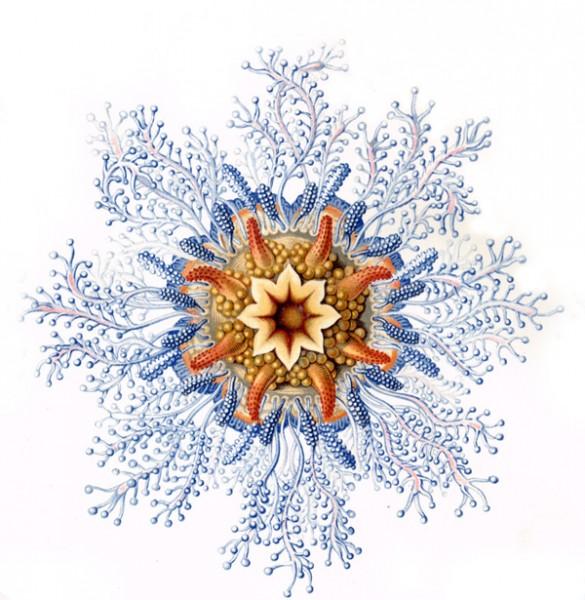 Haeckel_Siphonophorae-1-2