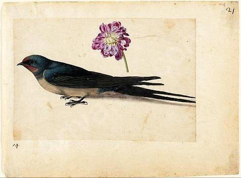 jacques-le-moyne-swallow